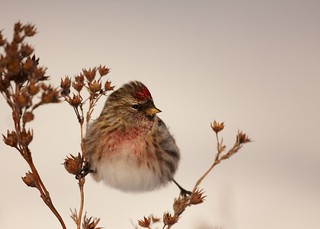 Male Common Redpoll | by ragingradish