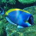Underwater Maldives: Powderblue Surgeonfish close up
