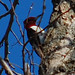 Melanerpes erythrocephalus, Red-headed Woodpecker