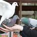 pigeon stacking
