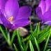 Spring Crocus 2