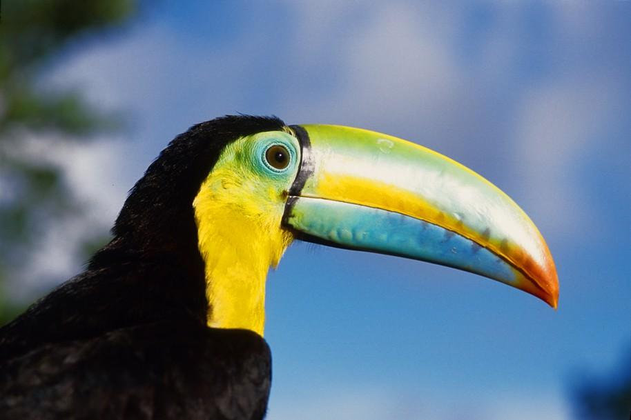 Colorful Toucan Panama City Panama Exotic Animals In