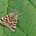 The Mother Shipton Moth - Callistege mi (witches face moth)