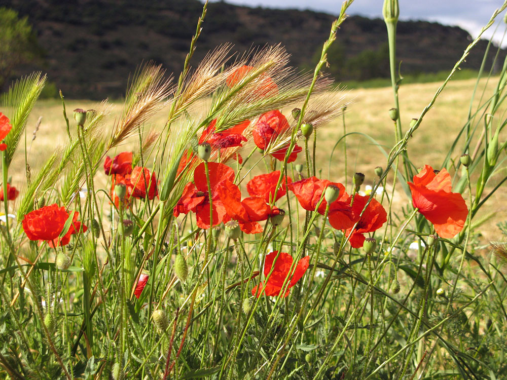 poppies in the wind - photo #10