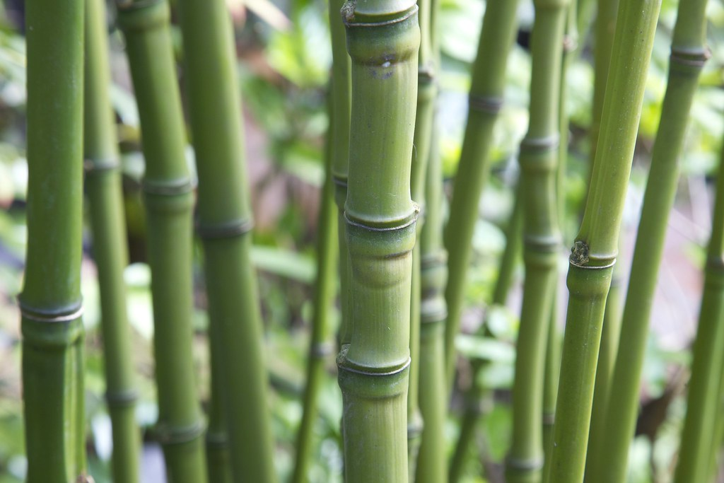 phyllostachys aurea golden bamboo fishpole bamboo bambu flickr. Black Bedroom Furniture Sets. Home Design Ideas