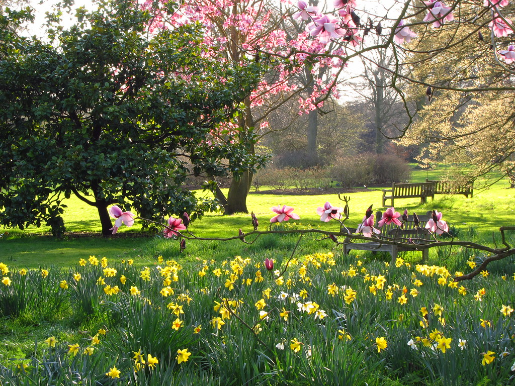 Magnolia trees and daffodils at kew gardens looking for Garden trees london