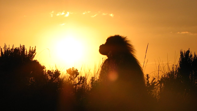 Gelada in the Sunset