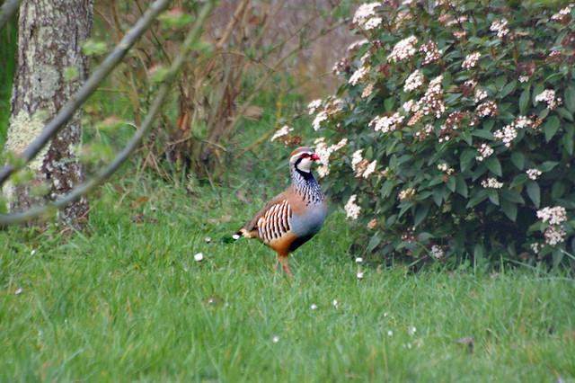 Oiseaux du jardin perdrix rouge flickr photo sharing for Oiseaux du jardin