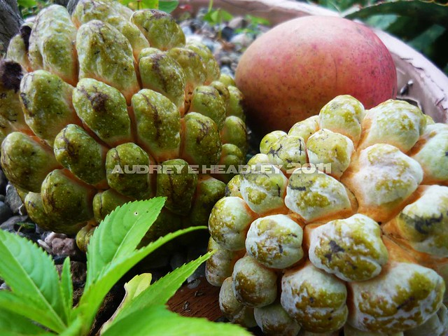 The gallery for --> Jamaican Star Fruit