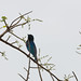 Lesser Blue-eared Starling, Drive to Murchison, 16 Mar 2011