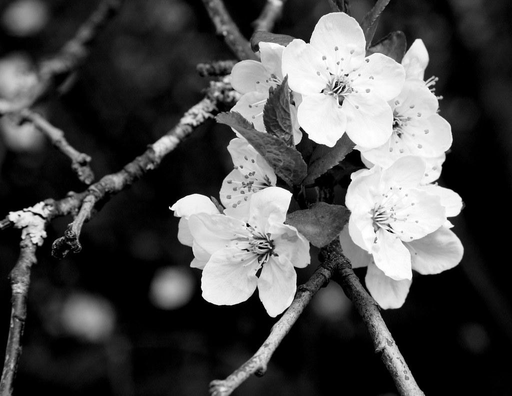 Black & White Cherry Blossoms | kiki5253 | Flickr