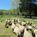 Sheep Freedom Day 1