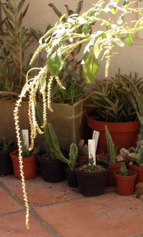 Amaranthus blitum 5779134031_80a96ce150_o