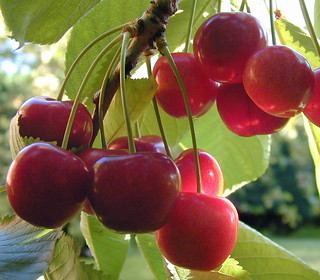 Cherries | by D H Wright