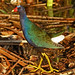 Purple Gallinule - Porphyrula martinica