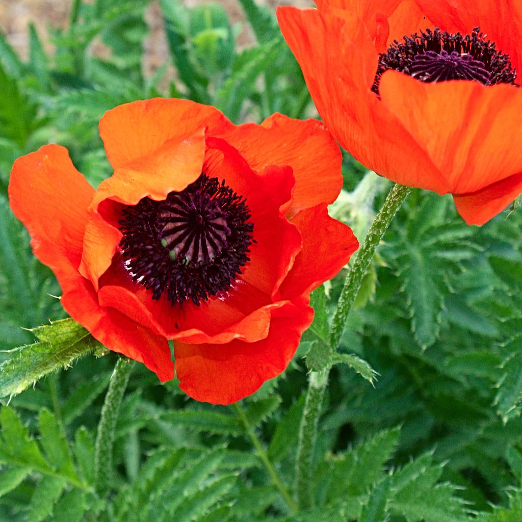 fleur de pavot fleur de pavot fr d ric bisson flickr. Black Bedroom Furniture Sets. Home Design Ideas