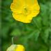 Poppy. Carl Zeiss 2.8 24-70mm 2.8 on Sony NEX-5