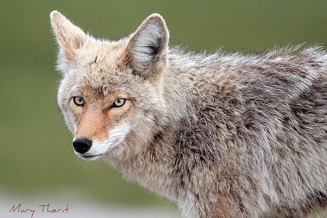 Coyote Face Coyote face