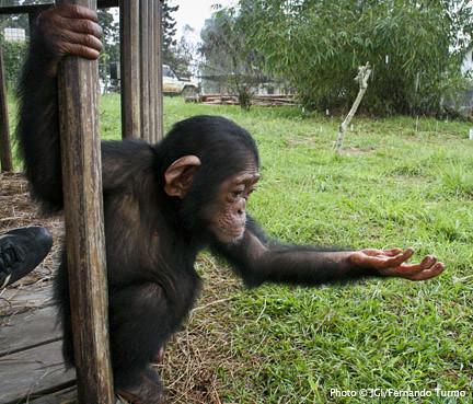 Another rainy day at Tchimpounga Chimpanzee Rehabilitation… | Flickr Chimpanzee Jane