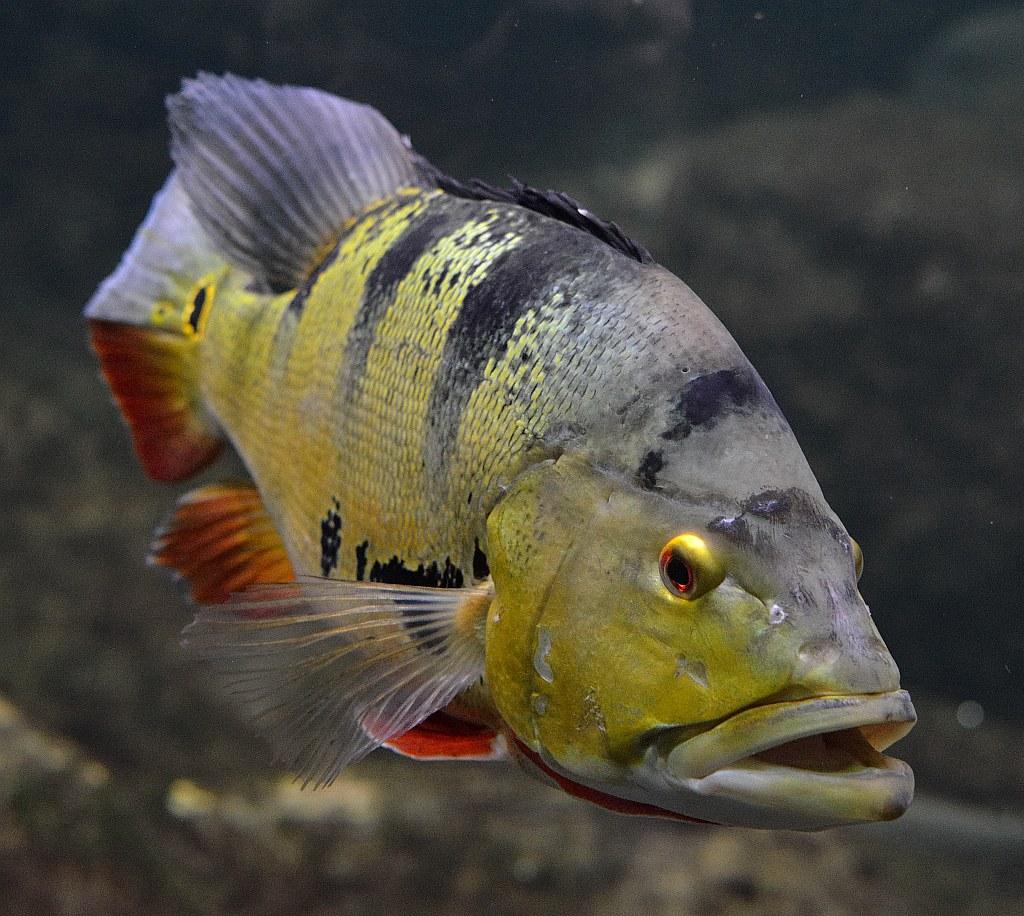 Freshwater Predator Fish: Mono Peacock Bass - Cichla Monoculus |Peacock Bass Aquarium