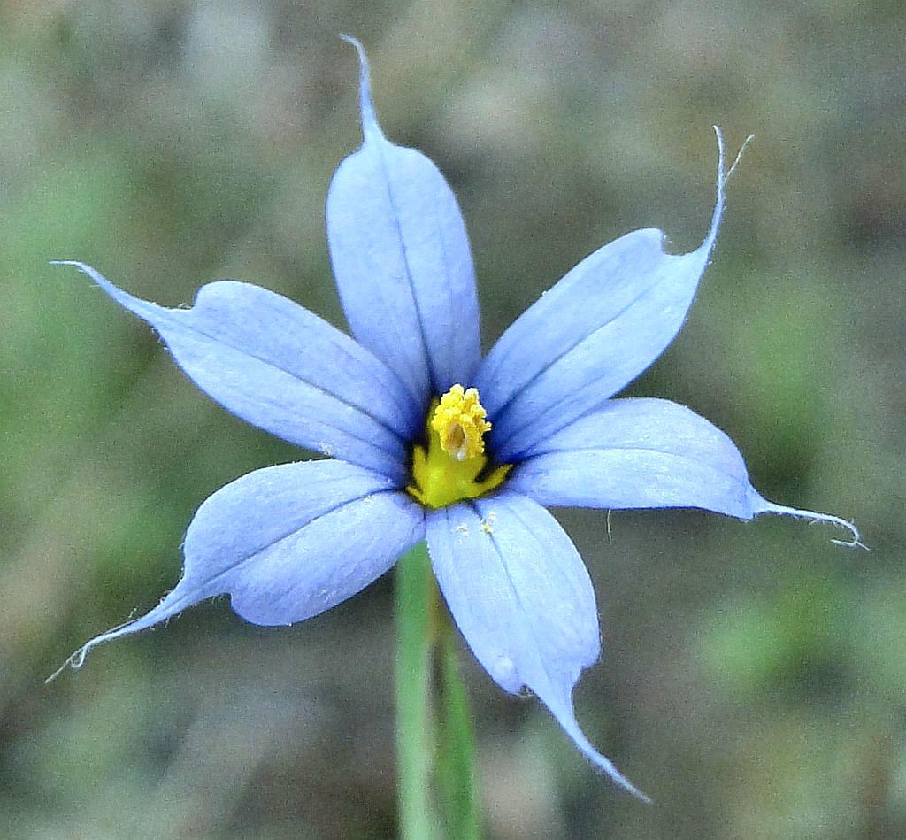 Blue Eyed Grass Drawing Blue-eyed Grass Narita