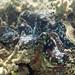 fluted giant clam Tridacna squamosa