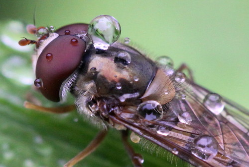 drops on hoverfly , explored! ( #288 ) | by bugman11