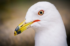 Ring-Billed Gull Head-shot