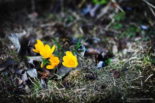 Spring flowers | by Pierre Pocs
