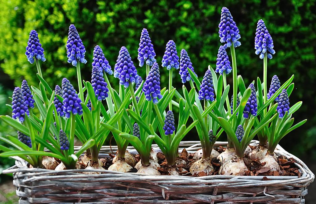 Blauwe druifjes in een mandje common grape hyacinths in flickr - Blauwe agency ...