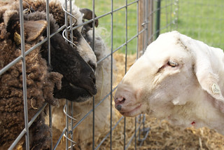 Shearing '11: Agnes visits the inmates | by QueenieVonSugarpants
