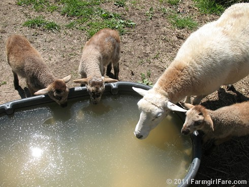 Clarissa and her triplets tank up | by Farmgirl Susan