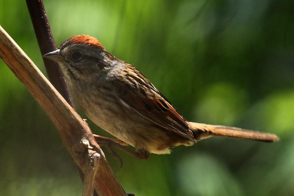Swamp Sparrow Huntley Meadows   Another Swamp Sparrow