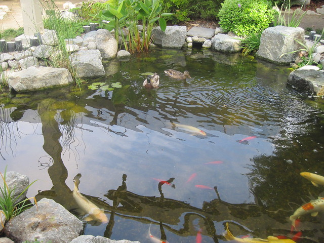 Mallard Ducks At The Koi Pond South Coast Botanic Garden Flickr Photo Sharing