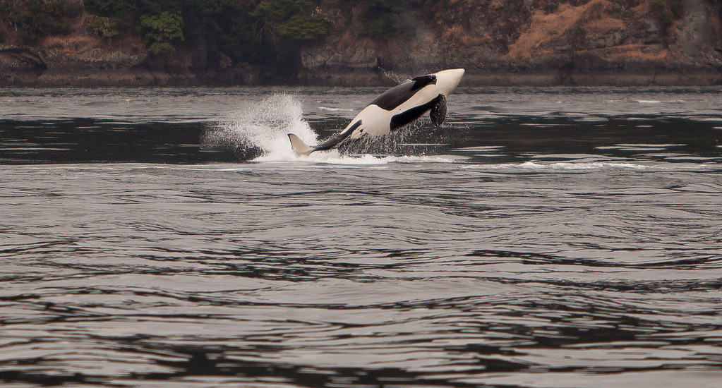 Salish Sea Orcas - Pacific Ocean Killer Whales | The souther… | Flickr
