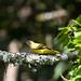 Petit's Cuckoo-Shrike, female, Bwindi, 9 Mar 2011