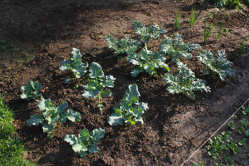 kale and broccoli, in the spring garden | by woodleywonderworks
