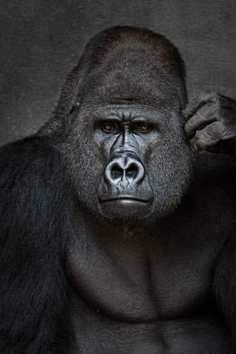 Facing the Silverback | by downhilldom1984