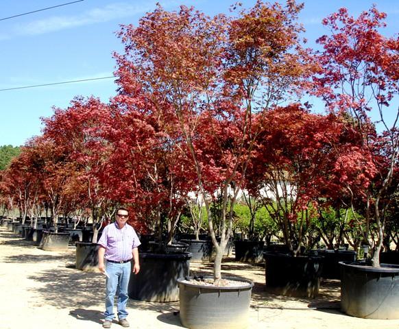 acer palmatum cv fireglow