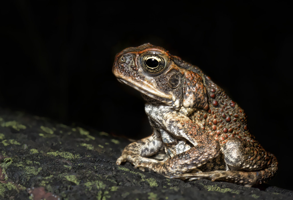how to get rid of cane toads in australia