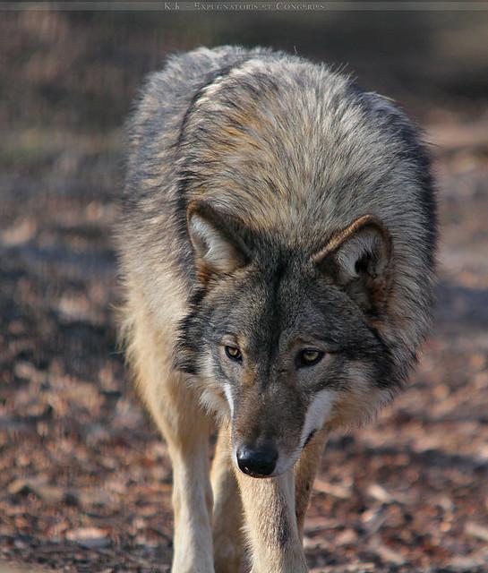 timber wolf german shepherd mix Quotes