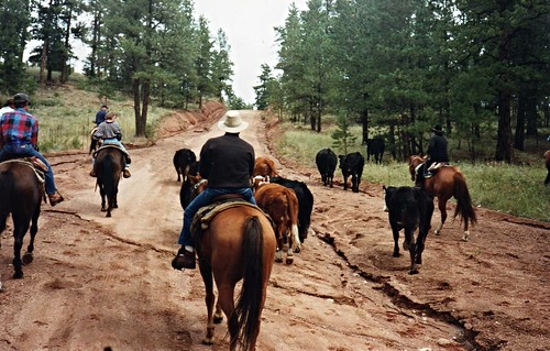 img147_Cattle_Drive_at_Lost_Valley_Ranch_1995