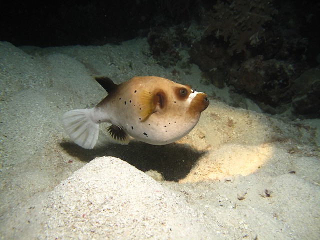 Dog faced puffer fish flickr photo sharing for Dog face puffer fish