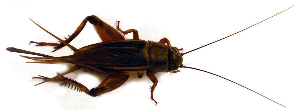 ... Arthropoda Insecta Orthoptera Gryllidae | Craig Pemberton | Flickr Pemberton