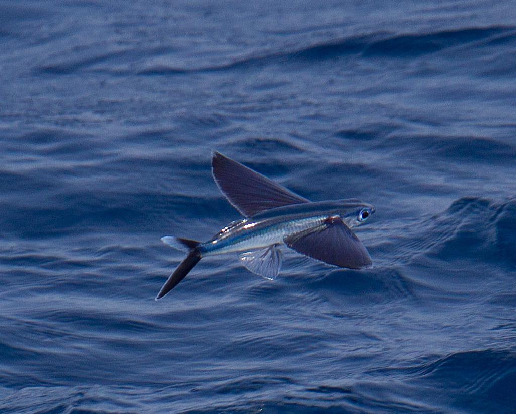 flying fish by cacodaemonia - photo #4