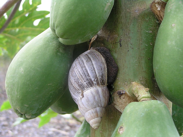 Giant African snails are about the size of an average-sized adult fist.