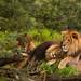 Lion Gay Pride