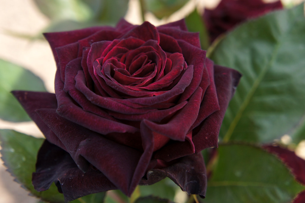 rose black baccara hybrid tea rose. Black Bedroom Furniture Sets. Home Design Ideas