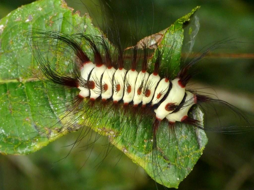 Dont Look Back >> Stinging Flannel Moth Caterpillar, Megalopyge lanata | Flickr