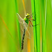 Dragonfly_6538